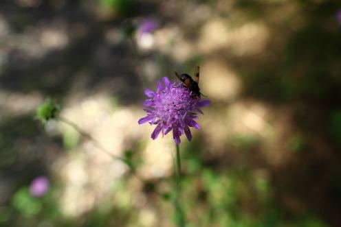 fleur-mouche
