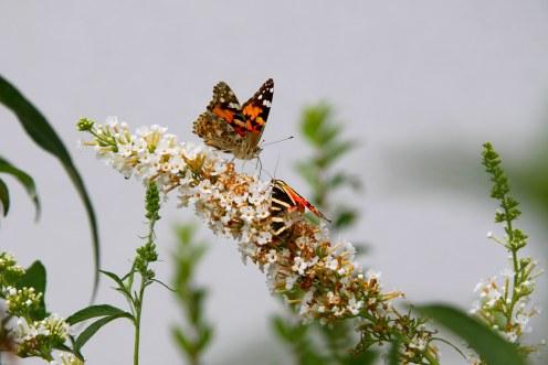 papillons-buddleia