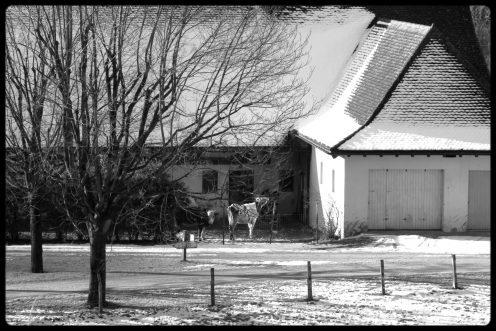 hauterive-ferme-vache