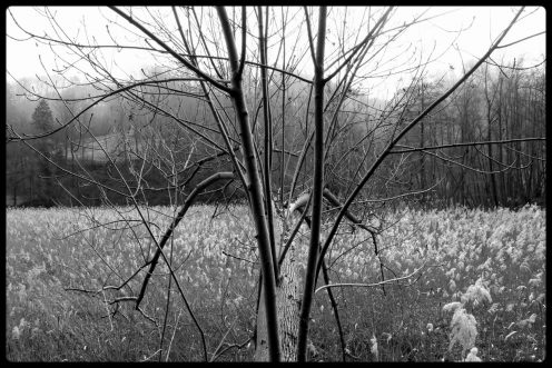 perolles-arbre-roseliere