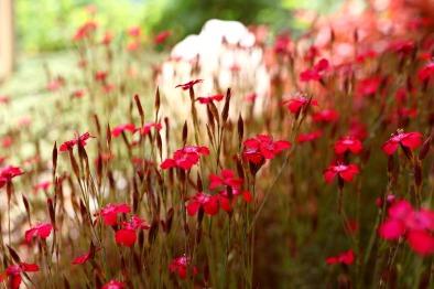 dianthus-deltoides-rouge