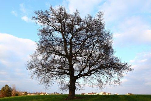arbre-platy